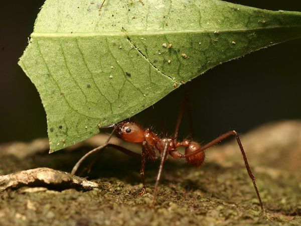 One of 10,000 species of ants, this leaf-cutter ant hauls a leaf more than three times its size back to the nest. Photography by Roy Toft